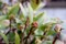 寒風に耐え、春を待つ「ジンチョウゲ(沈丁花)」(29.2.20)
