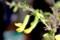 咲き始めた「ムレスズメ」。(29.2.21)