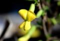 「ムレスズメ」は、蝶形の花。(29.2.21)