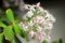 見頃の「金のなる木・クラッスラ」の花。(29.2.21)