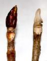 トチ、オニグルミの冬芽、葉痕。(29.2.23)