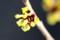まだ伸び切らず、輪のような花びら。(29.2.25)