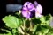 盛りを過ぎた、我が家の「プリムラ・オブコニカ」(29.3.1)
