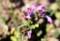 シソ科・「ホトケノザ」の花。(29..3.4)(賢治ガーデン)