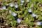 春一番の野草・「オオイヌノフグリ」の花。(29.3.4)