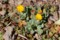 冬中、咲き続けた「フユシラズ(冬知らず)」の花。(29.3.4)