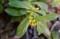 ようやく開花した「ナツボウズ(夏坊主)」の花。(29.3.5)