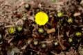 「フクジュソウ(福寿草)」も、今年の一番花が開く。(29.3.7)