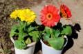 復興ソング・ガーベラの花。(29.3.11)
