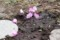 泥んこ土に、シクラメンの花茎を挿して…。(29.3.14)