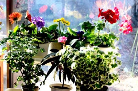 明るく咲く、窓辺の鉢花たち。(29.3.15)