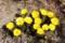 春の日差しを受け、一気に開いた「フクジュソウ(福寿草)」の花。(29