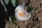 クロッカス、「白の別品種」が開花。