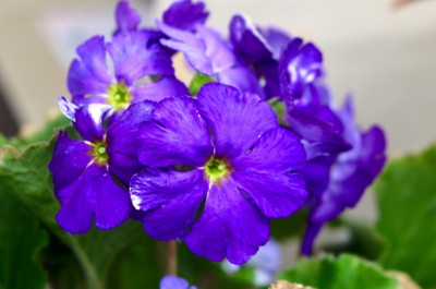 卒業式のステージを飾る、「プリムラ・オブコニカ」の鉢花。(29.3.18)
