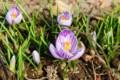 お気に入りの、「白地に紫の筋入り」クロッカス。(29.3.19)