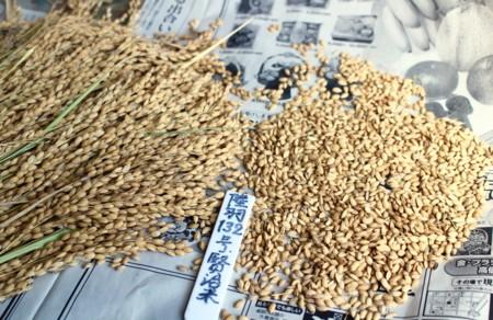 「陸羽132号・賢治米」の種籾を準備。(29.3.20)