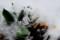 雪を被る、クロッカスやチューリップ。(29.3.27)
