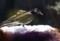 粉糠を啄む、「ムクドリ(椋鳥)」の群れ。(29.3.27)
