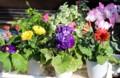 外に出して、日光浴をする鉢花。(29.3.30)