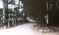 NHK制作ビデオに、撮られた「ギンドロの大木」