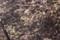 ようやく芽生えた「カタクリ(片栗)」。(29.4.2)