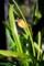 「ミツバチラン・金稜辺」の実・種子。(29.4.3)