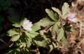 「キクザキイチゲ」、別名「ウラベニイチゲ」が開花。(29.4.5)(