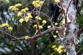 もうしばらくで満開になる、「山茱萸・春黄金花)」。(29.4.6)