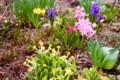 「原種プリムラ・ベリス」「ヒヤシンス」も咲いて、春花壇は本番。(29