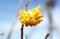 賢治ガーデン、「樹花のミツマタ(三椏)」の花。(29.4.10)