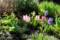 朝日に輝く、「春花壇の花々」。(29.4.12)