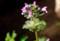 意外に美しい花の野草、「ホトケノザ」。(29.4.12)