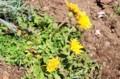 在来種・「日本タンポポ」。(29.4.13)