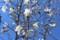 今が盛りの「コブシ(辛夷)」の花。(29.4.13)