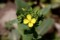 「菜の花」は、4枚花弁。(29.4.)