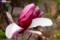 赤紫と白とのコントラストが見事な、「錦木蓮」(29.4.14)