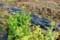菜の花咲く、畑の初仕事…。(29.4.14)