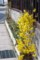 道路の交通安全に一役買う、黄色の「連翹」の花。(29.4.16)