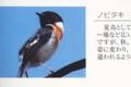 「ノビタキ(野鶲)」の写真。(29.4.16)