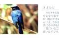 夏鳥の「オオルリ(大瑠璃)」写真。(29.4.16)