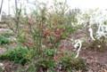 「ボケ(木瓜)」にも赤い花が…。(賢治ガーデン)(29.4.17)