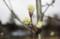 3年目、花芽を着けた「賢治ゆかりのヤマナシ」(29,4,17)