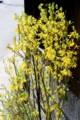 咲き始めた、開花期がやや遅い別品種の「レンギョウ(連翹)」の花。