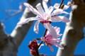 青空、風に揺れる「シデコブシ(四手辛夷)」の花。(29.4.18)