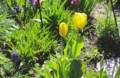 強風に煽られる、春花壇の「チューリップ」や「ムスカリ」…。