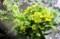 食材の「菜の花」たち、(29.4.21)