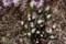 白い雄しべが目立つ、「ヒトリシズカ(一人静)」の花。(29.4.21)