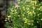 意外に美しい「ブロッコリー」の花。(29.4.21)