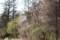 林を背景に、「オオヤマザクラ」が3本。(29.4.22)