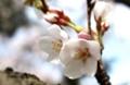 五分咲きほどの「ソメイヨシノ」。(小諸市)(29.4.22)
